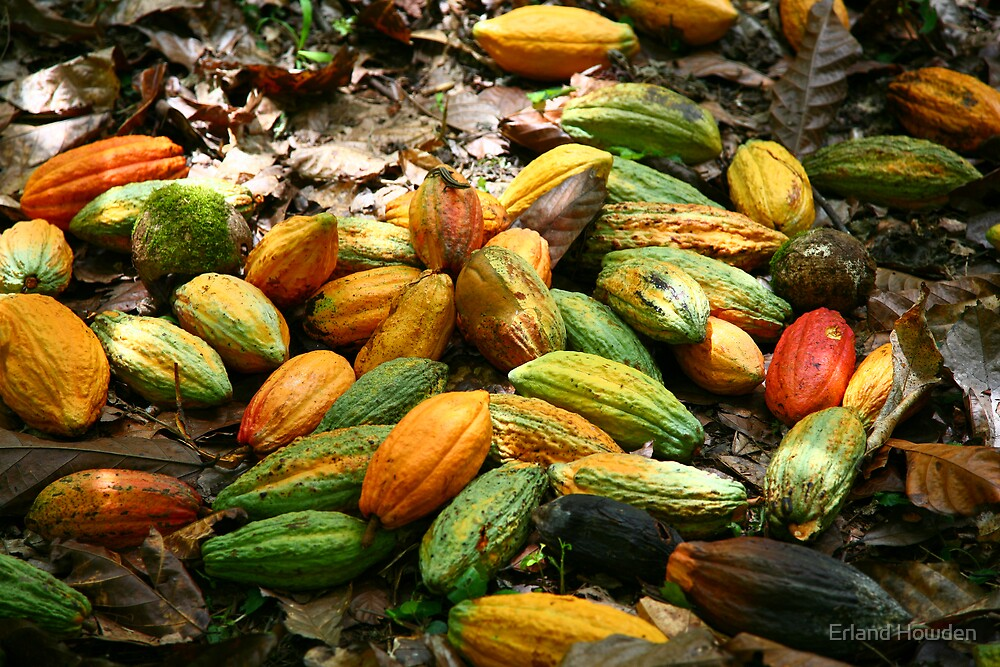Cacao Pods, New Ireland by Erland Howden