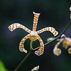 New Ireland Orchid by Erland Howden