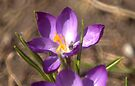 My First Flower of 2009~ and snow tomorrow!!!! by Larry Llewellyn