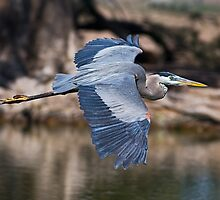 040509 Great Blue Heron by Marvin Collins