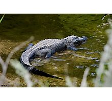 Alligator sunning on the banks of the Turner River Photographic Print