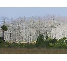 Cypress trees in sunlight Photographic Print