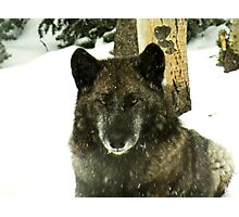 Black timber wolf Photographic Print