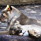 Lions  by Alex Black