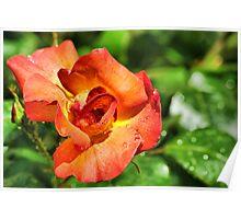 Rain n Rose Poster