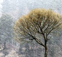 14.4.2015: Lonely Tree in Springtime Blizzard by Petri Volanen