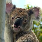 THE KOALAS by stevealder