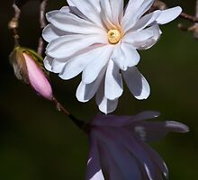 Magnolia stellata by Margaret Barry
