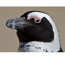 African penguin portrait Photographic Print