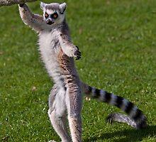 Trainee Ballerina (Ring-Tailed Lemur) by Krys Bailey