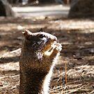 California Ground Squirrel by NancyC