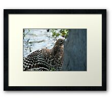 Hawk hiding in the shadows  Framed Print