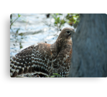 Hawk hiding in the shadows  Canvas Print