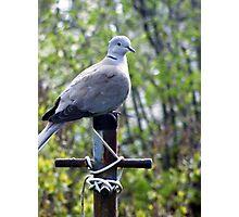 Pigeon Post Photographic Print