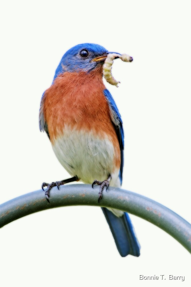 Eastern Bluebird with Grubworm by Bonnie T.  Barry