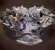 Loxahatchee Gator by Larry  Grayam