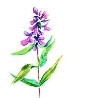 Lilac flower. Watercolor floral illustration. by Olga Matskevich