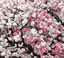 Japanese  Peach  Flowers by yoshiaki nagashima