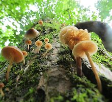 Fungi on a Willow Tree by ChuckBuckner