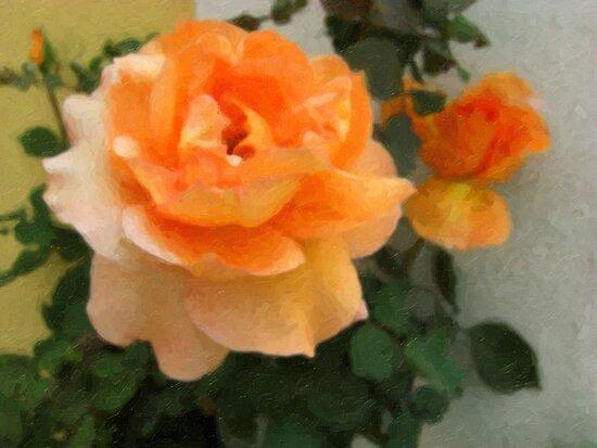 Peach Rose 1 Oil by Christopher Johnson