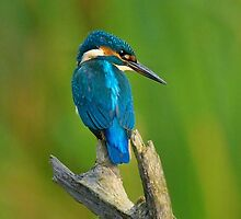 Kingfisher by samandoliver