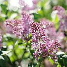 Lilac Loveliness by AbigailJoy