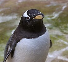 Gentoo Penguin by Hollie512