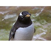 Gentoo Penguin Photographic Print