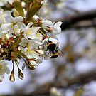 Cherry Bumblebee by MarianaEwa