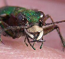 green tiger beetle by velveteve
