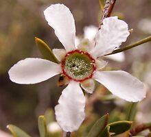 mallee tea tree by jeroenvanveen