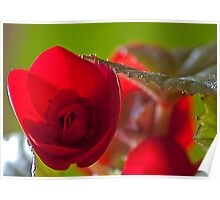 Bright red Begonia. Poster