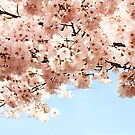 Cherry Blossoms by Kelly Pierce
