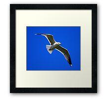 Common Gull #2 Framed Print