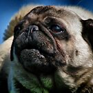 The Smug Pug by Milan Hartney