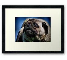 The Smug Pug Framed Print