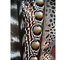 Pheasant Feather Photographic Print
