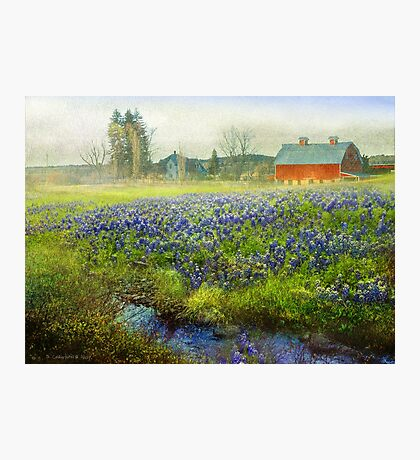 red barn and blue bonnet spring Photographic Print