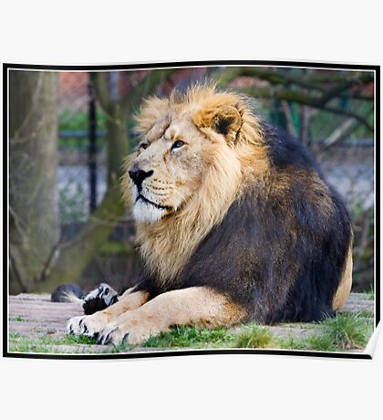 Lion at Chester Zoo Poster