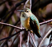 Rufous Hummingbird Female:  First Sighting of 2009 by David Friederich