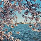 Cherry Blossoms in DC by Kadwell
