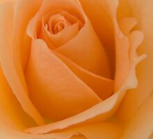Peach Rose by Sandra Mangnall