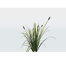 Reed Plant Photographic Print