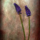 Muscari (Grape Hyacinth) by mariarty