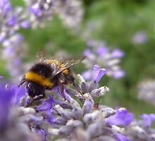 Bumble Bee and Lavender by AlisonBurford