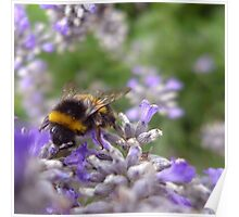 Bumble Bee and Lavender Poster