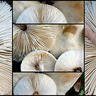 Lepiota Mushrooms by Magee