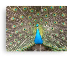 Fine feathers Canvas Print