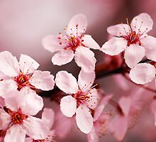 Pink Blossoms by Ryan Houston