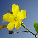 Yellow Jasmine Flower and Bud Against Blue Sky by taiche